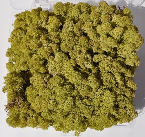 Reindeer Moss, Preserved – Light Green, 20-Ounce (1.25 Pounds) in a Designer Series Clear Case. (Reico Art 108067 – Soft and Colored Reindeer Moss)