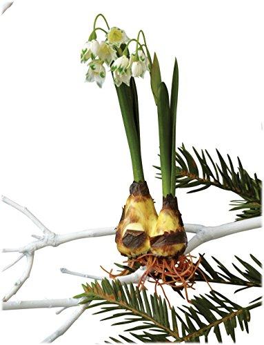 Sage & Co. XAO13501 Snowdrop Bulb Tie-On Ornament