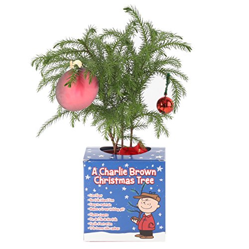 Costa Farms Live Charlie Brown Christmas Tree, 10 to 12-Inches Tall, Ships Fresh From Our Farm, Great as Holiday Gift or Christmas Decoration